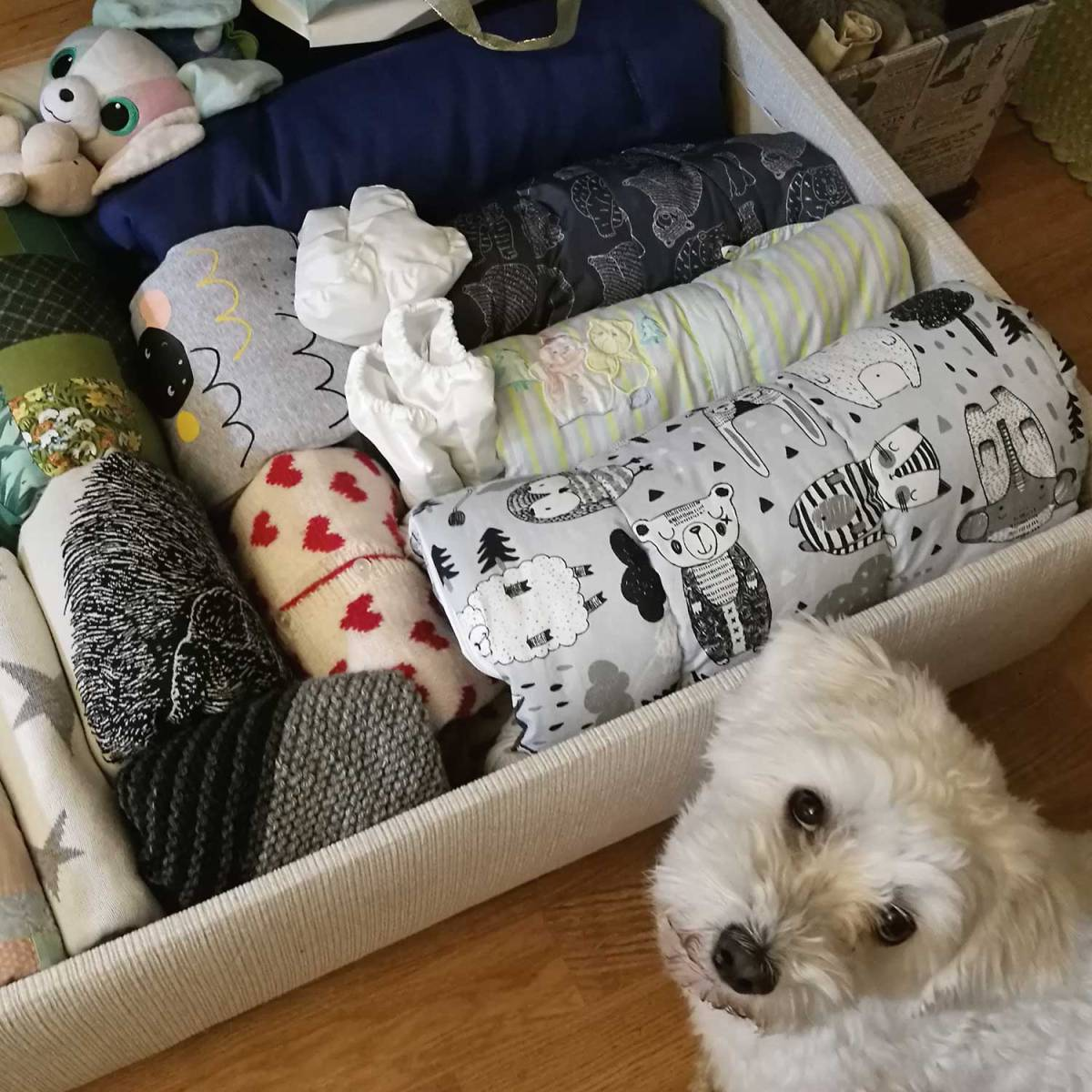 Pieni valkoinen koira katsoo kameraan. Sen takana laatikossa on kymmenisen pystyviikattua peitettä ja haalaria.